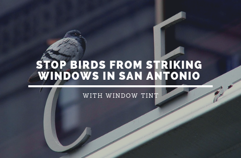 Stop Birds from Striking Windows in San Antonio with Window Tint