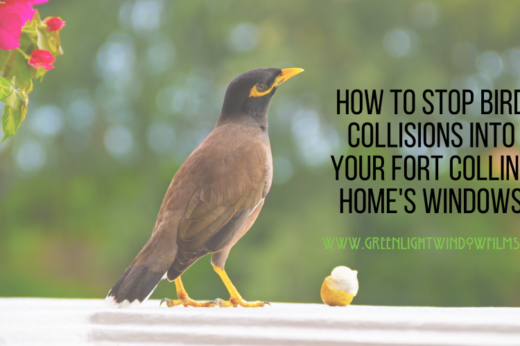 How to Stop Bird Collisions In Your Fort Collins Home with Window Film